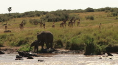 Elephants drinking in a river Stock Footage