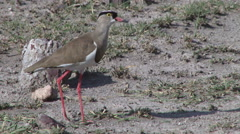 crown plover eating ants - stock footage