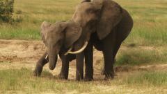 Elephants licking salt, at salt lick Stock Footage