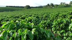 Plantation Cultivation Agriculture Farming Coffee Plants Field In Costa Rica - stock footage