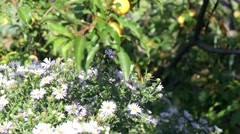 Stock Video Footage of Autumn flowers. Asters and bee. Autumn Garden.