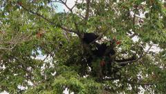 restless black bear in tree top - stock footage