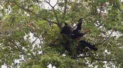Black bear lounging high tree top Stock Footage