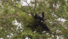 Stock Video Footage of black bear getting comfortable tree top