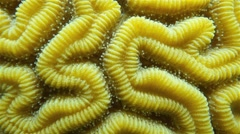 Grooved brain coral underwater close up Stock Footage