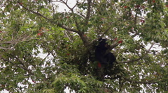Black bear in a high tree top Stock Footage