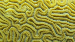 Sea life grooved brain coral close up - stock footage