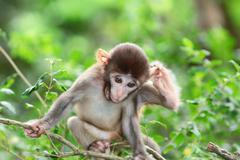 silly albino macaque in Hong Kong - stock photo