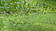 Bronze-winged Jacana , mother bird eating out with hatchlings Stock Footage