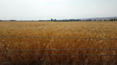 Golden wheat waves gently background mountains fade into smoky haze - stock footage
