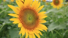 Bee on a sunflower in a field on a sunny summer day, Tokyo, Japan - stock footage