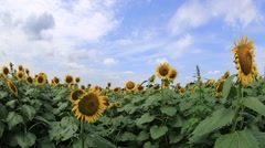 Blue sky with clouds over sunflower field, Tokyo, Japan Stock Footage