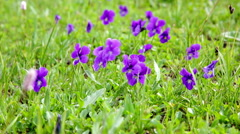 Big glade with blossoming violets - stock footage