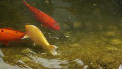 Goldfish swim in the lake. River with fish. Stock Footage