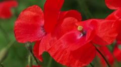 Red Poppy Flower Macro Stock Footage