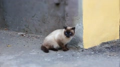 Siamese cat - stock footage