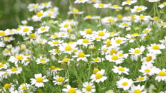 Summer meadow with the blossoming camomiles Stock Footage
