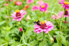 Gerbera or Daisy, Flower pink color with bumble bee Stock Photos