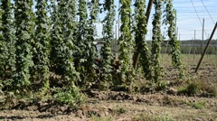 Hop harvest in Mradice Village near Town of Zatec in Czech Republic Stock Footage