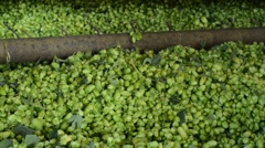 Hops harvestor in Mradice Village near Town of Zatec, Czech Republic, Stock Footage