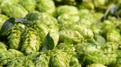 Detail of hop cones in the wicker basket,zoom out - stock footage