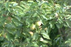 Apple tree branches moving in the wind. Stock Footage
