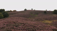 Endless hills with blooming heather at sundown at the Posbank in the Netherlands Stock Footage