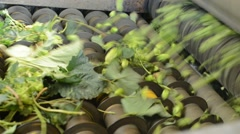 Hops harvestor separates hop cones from leaves Stock Footage