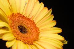Yellow Gerbera Daisy - stock photo