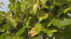 Red Wine Grapes on the Vine Slider Dolly Stock Footage
