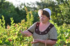 elderly woman gathering raspberries in the garden - stock photo