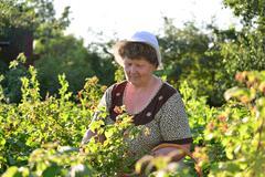 Elderly woman gathering raspberries in the garden Stock Photos