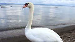 Stock Video Footage of Lake swans2