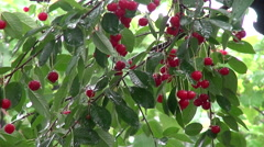 Summer rain, orchard, sour cherries on a branch, tree, season Stock Footage