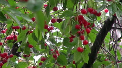Rain drops, sour cherry tree, bunch, fresh ripe fruits on branch, orchard - stock footage
