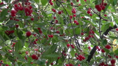 Heavy rain, orchard, sour cherry tree, red ripe fruit, raindrops - stock footage