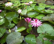 PInk Lotus Flower Stock Photos