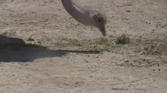 Ostrich in the Hai Bar National Biblical Wildlife Reserve - stock footage