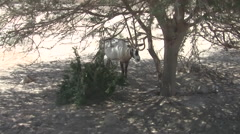 Antelope in the Hai Bar National Biblical Wildlife Reserve - stock footage