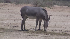 Donkey in the Hai Bar National Biblical Wildlife Reserve - stock footage