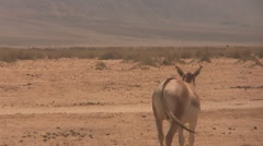 Stock Video Footage of Donkey in the Hai Bar National Biblical Wildlife Reserve