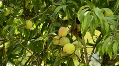 Peach-tree with ripe fruits Stock Footage