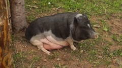 Pig sitting on the ground in the paddock on a farm Stock Footage