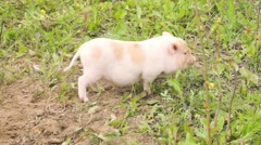 Three well-fed pig walk on the grass in the summer - stock footage