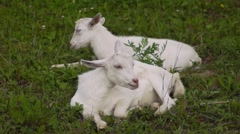 Two white goats in a corral asleep on the grass in the summer - stock footage