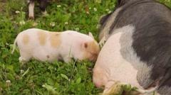 Pig feeding piglets on a farm Stock Footage