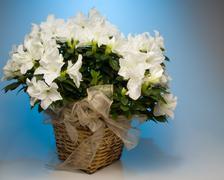 White Azalea - stock photo