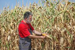 Agricultural scene, farmer or agronomist inspect corn field - stock photo