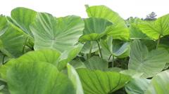 Asian Tropical Caladium (Colocasia esculenta). The tropical Stock Footage
