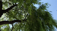 Willow branches Stock Footage